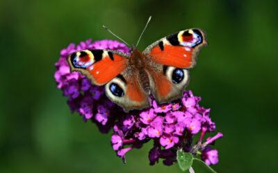 Thema 'vlinders en bijen'